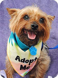 Yorkie, Yorkshire Terrier Dog for adoption in Omaha, Nebraska - Mojo