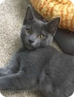 Domestic Shorthair Kitten for adoption in McHenry, Illinois - Fisher