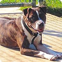 Adopt A Pet :: Man Man - Troy, MI