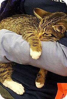 Domestic Shorthair Kitten for adoption in Wayne, New Jersey - Henley