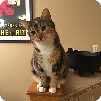 Domestic Shorthair Cat for adoption in Middleton, Wisconsin - Mrs. Norris