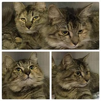 Maine Coon Cat for adoption in Martinsburg, West Virginia - Mandy and Monica