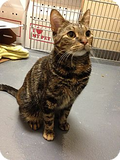 Domestic Shorthair Cat for adoption in Chicago, Illinois - Rustie