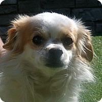 Adopt A Pet :: Scrappy - white settlment, TX