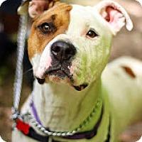 Adopt A Pet :: Shilo - Tinton Falls, NJ