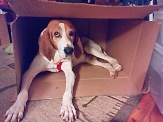 Hound (Unknown Type) Mix Dog for adoption in Asheville, North Carolina - Huckleberry