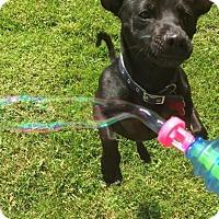 Adopt A Pet :: Moses - Troy, MI