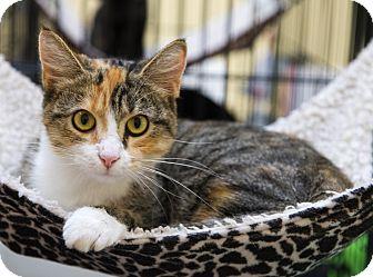 Calico Cat for adoption in Charlotte, North Carolina - A..  Okesha