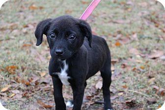 Labrador Retriever Mix Puppy for adoption in Conway, Arkansas - Cranberry