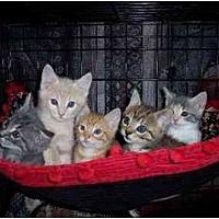 Adopt A Pet :: Kittens - Norco, CA