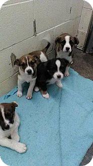 English Bulldog/Australian Cattle Dog Mix Puppy for adoption in Danbury, Connecticut - Otis