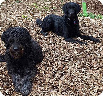 Poodle (Standard)/Labrador Retriever Mix Dog for adoption in Alpharetta, Georgia - Thelma and Louise