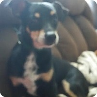 Adopt A Pet :: Hachi - Loveland, OH