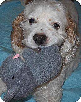 Cocker Spaniel Dog for adoption in Albion, Rhode Island - Sammy