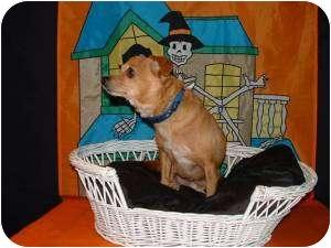 Chihuahua/Dachshund Mix Dog for adoption in Seattle, Washington - PRINCE CHARMING