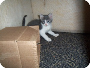 Domestic Shorthair Kitten for adoption in Raritan, New Jersey - Dilly