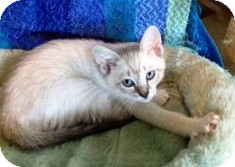 Siamese Kitten for adoption in Vero Beach, Florida - Roscoe