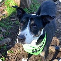 Adopt A Pet :: Zoie - Burleson, TX