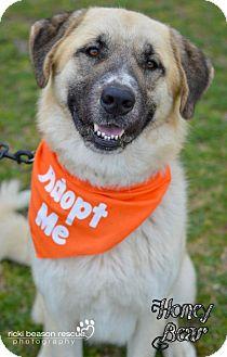 Anatolian Shepherd Dog for adoption in Whitewright, Texas - Honey Bear