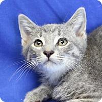Domestic Shorthair Kitten for adoption in Winston-Salem, North Carolina - Silver