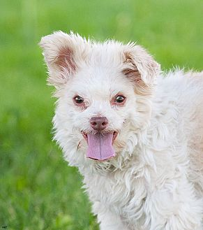 Poodle (Miniature)/Maltese Mix Dog for adoption in Washoe Valley, Nevada - Dusty