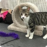 Adopt A Pet :: Ms. Meowski - Alexandria, VA