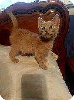 Domestic Shorthair Kitten for adoption in Hampton, Virginia - RANCHER
