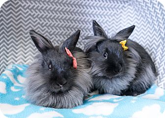 Lionhead Mix for adoption in Montclair, California - Haley & Holly