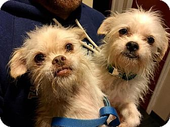 Maltese/Terrier (Unknown Type, Small) Mix Dog for adoption in Pittsburgh, Pennsylvania - Coral and Bori - BONDED PAIR