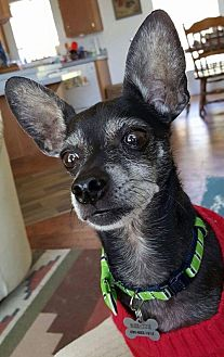 Chihuahua Mix Dog for adoption in Chico, California - Mr. Jenkins