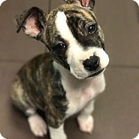 Adopt A Pet :: Violet - Wethersfield, CT