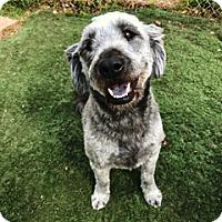 Adopt A Pet :: Shaggy - San Antonio, TX
