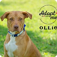 Adopt A Pet :: Ollie - Pearland, TX