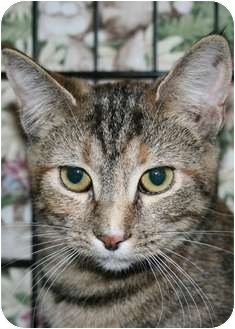 Domestic Shorthair Kitten for adoption in Frederick, Maryland - Tassie