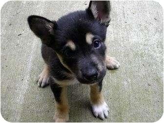 Border Collie/Doberman Pinscher Mix Puppy for adoption in Salem, Oregon - Syri