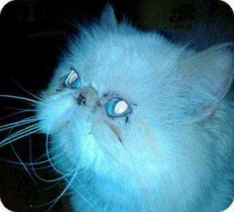 Himalayan Cat for adoption in Columbus, Ohio - Benji