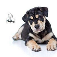 Adopt A Pet :: Tige - Rochester, NY