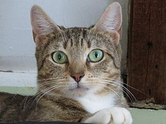 Domestic Shorthair Cat for adoption in NYC, New York - PREZIOSA