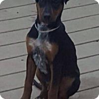 Adopt A Pet :: Bo - Cranford, NJ