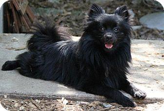 Pomeranian Mix Dog for adoption in Kansas City, Missouri - Sailor