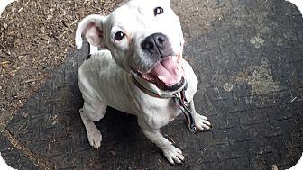American Bulldog/English Pointer Mix Dog for adoption in Davisburg, Michigan - Zena Pets 4 Vets