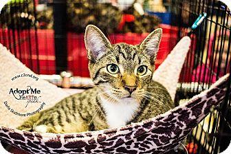 Domestic Shorthair Kitten for adoption in Charlotte, North Carolina - A..  Jax