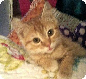 Domestic Shorthair Kitten for adoption in Washington, North Carolina - JIGGS
