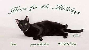 Bombay Cat for adoption in Corona, California - LUNA