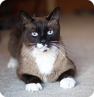 Snowshoe Cat for adoption in Great Falls, Montana - Smokey
