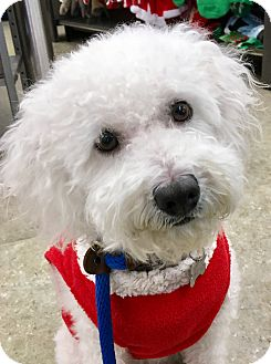 Labradoodle Mix Dog for adoption in San Pedro, California - Daffodil