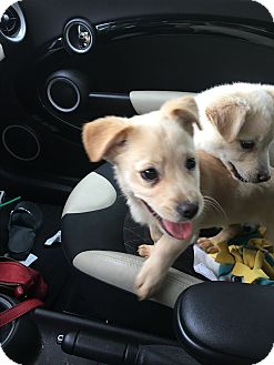 Labrador Retriever Mix Puppy for adoption in Vancouver, British Columbia - Angel