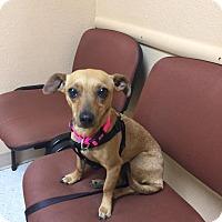 Adopt A Pet :: Goldie - Grass Valley, CA