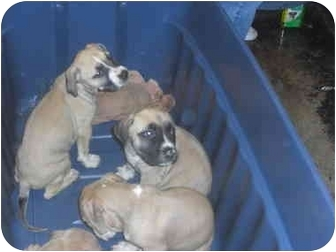 American Pit Bull Terrier Puppy for adoption in Mesa, Arizona - Pit Bull Litter of 8