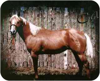 Quarterhorse for adoption in Pueblo, Colorado - Cat